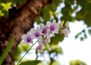 Orchids in bloom in Bangkok, Thailand